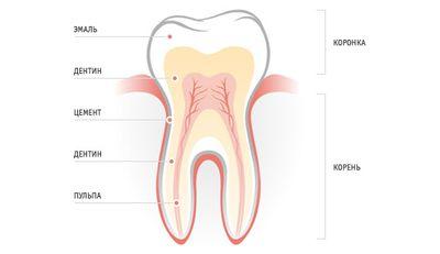 Из чего состоит зуб?