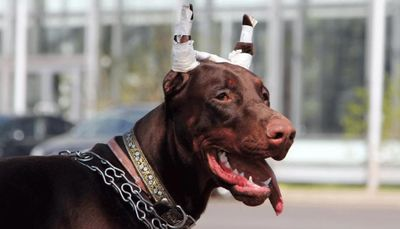 Особенности купирования ушей и хвостов у собак