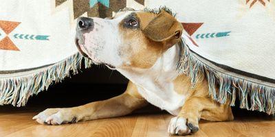 Почему собаки боятся громких звуков? Чем грозит боязнь громких звуков?