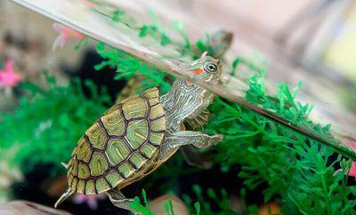Как правильно ухаживать за красноухой черепахой?