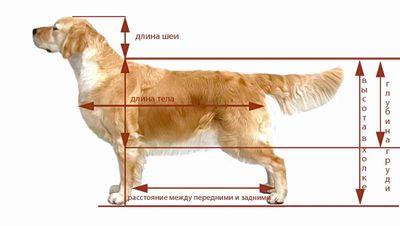 Как правильно мерить собаку?
