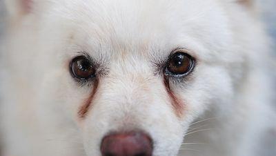 У собаки текут глаза: что делать и причины