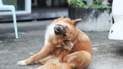 Чем блохи и клещи заражают собак