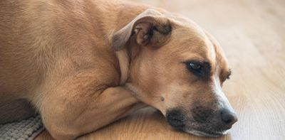 Боковая алопеция собак